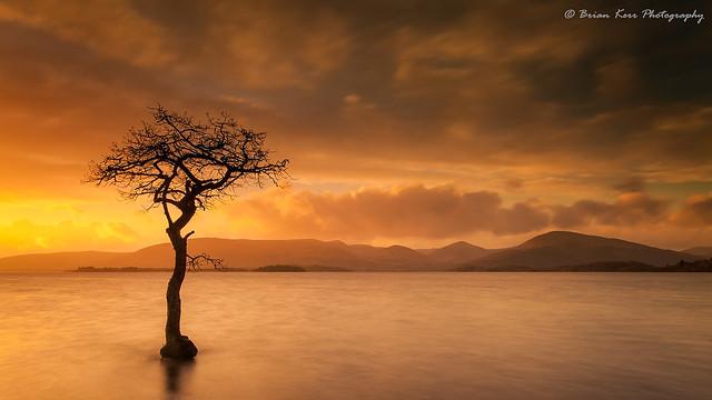 The Tree of Milarrochy