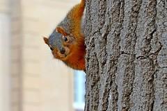 A squirrel Valentine (3)