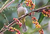 Streak eared bulbul  #birds #birdsarebeautiful #birdmagazine #birdlover #naturelover #natgeo #colourphotography #bill #beak #wings #savewildlife #feathers #aves #birdmagazine