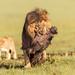 Male lion with warthog by Photobirder