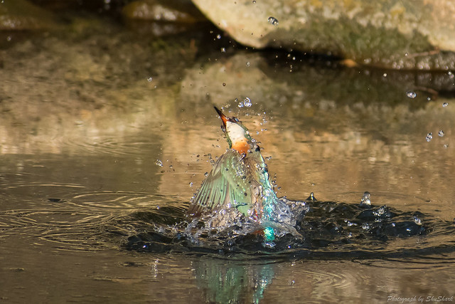 20180126-kingfisher-DSC_5622