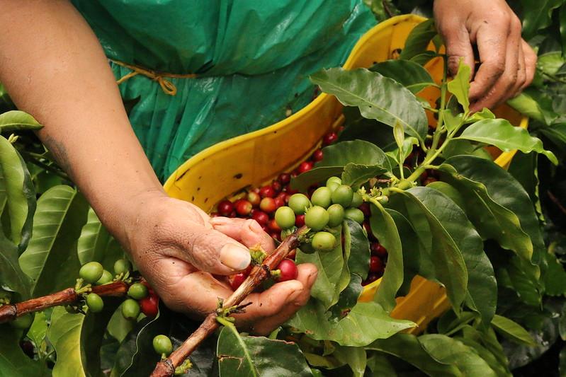 Thu hái cà phê Caturra ở Brazil - PrimeCoffee