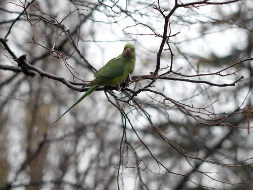 Hyde Park Parakeet - 1
