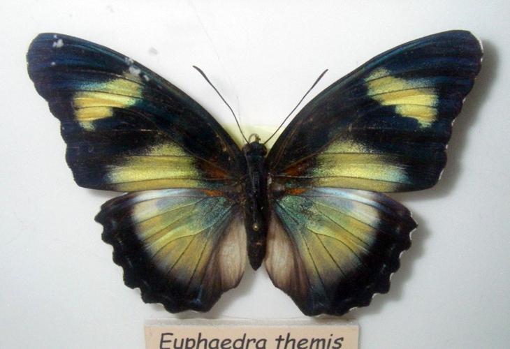Euphaedra themis 25582091757_5ecd7ac32a_o
