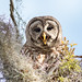 Talking Barred Owl by ChrisF_2011
