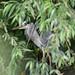 Eye spy  - Grey Heron