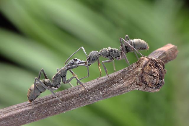 IMG_8311 Diacamma sp. ants.