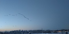 금릉역 | 청둥오리 아침비행