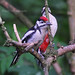 21 Great Spotted Woodpecker, M. juvenile