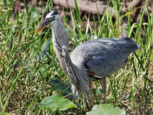 Great Blue Heron with Walking Catfish 006-20180209