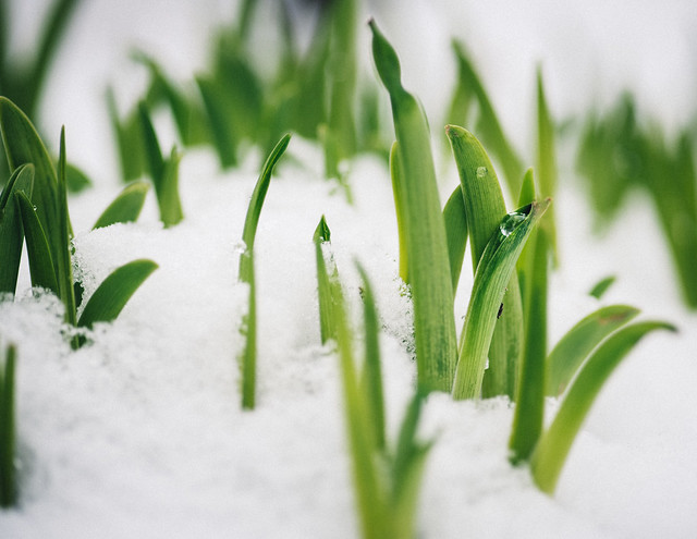 day lilies in the snow