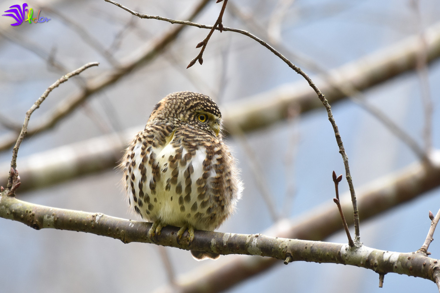 Collared_Owlet_5742