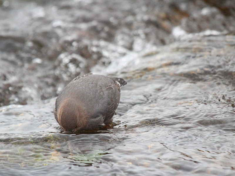 IMG_0048 American Dipper, Yellowstone National Park