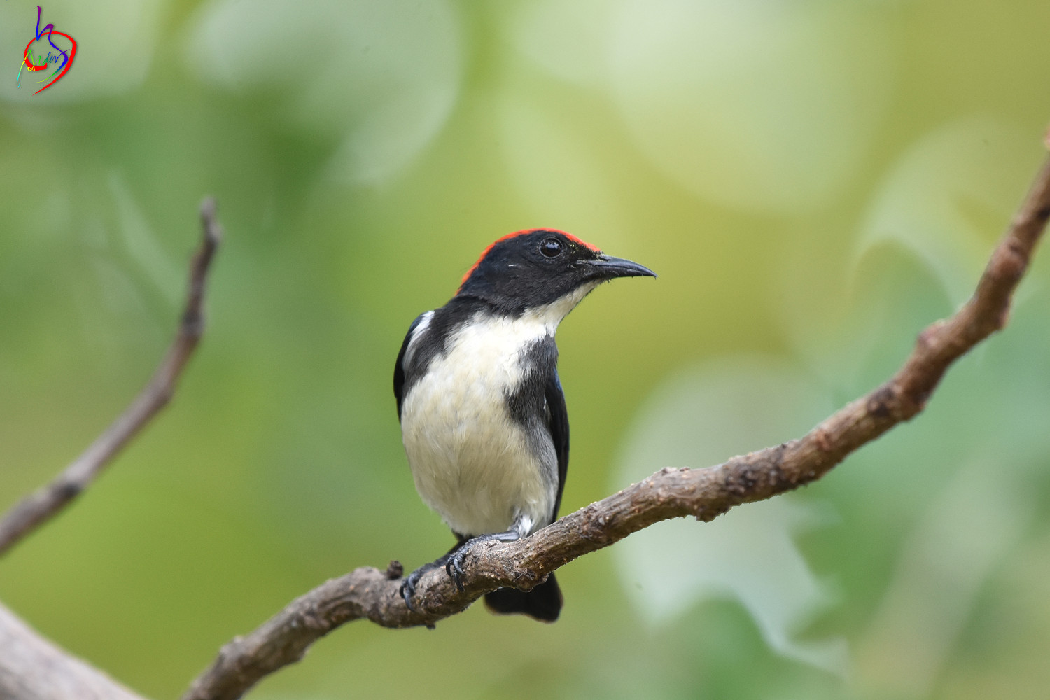 Scarlet-backed_Flowerpecker_4204