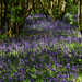Bluebells in Daroch Woods
