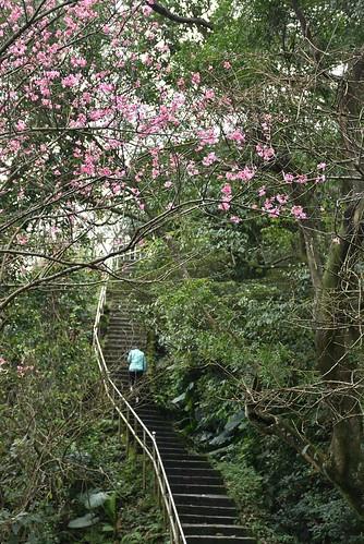 大尖山登山步道-櫻花
