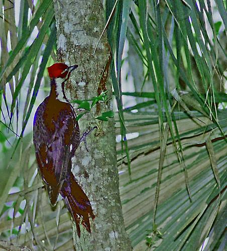 dryocopuspileatus birdseyeview woodpecker palmtree treetrunk palmfronds eastlakeroad eastlakerd pinellascounty florida fl unitedstates usa us america naturepark twolaneblacktop park bordersonlaketarpon oldsmar eastlake bird