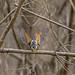 Sacred Kingfisher 74