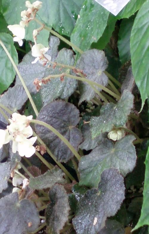 Begonia intermixta 39904129131_c1cf69a2d6_o