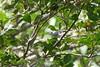 Herpsilochmus stictocephalus RocheCorail nord 040318