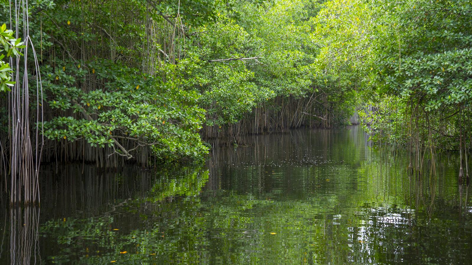 mangroves' den