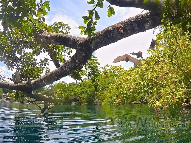 bats 0001 Cenote Azul, Chetumal, Quintana-Roo, Mexico