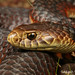 Lowlands Copperhead (Austrelaps superbus) by Akash Samuel Melbourne