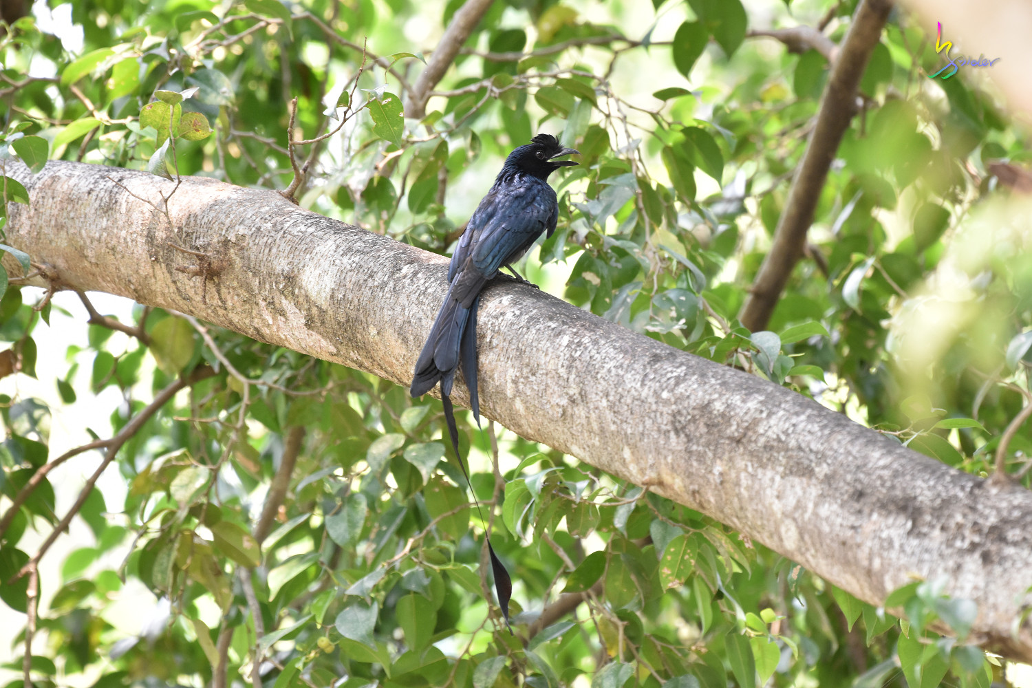 Greater_Racket-tailed_Drongo_8513