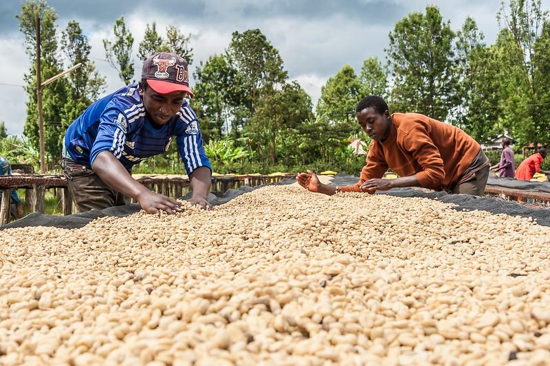 Cà phê Kenya - PrimeCoffee
