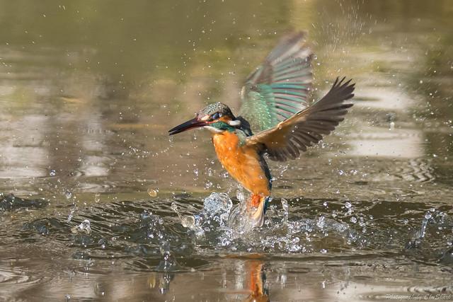 20180203-kingfisher-DSC_6952