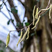 Round Wales Walk 109 - Early Catkins