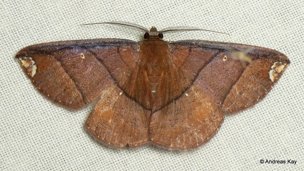 Geometer Moth, Perissopteryx sp.?
