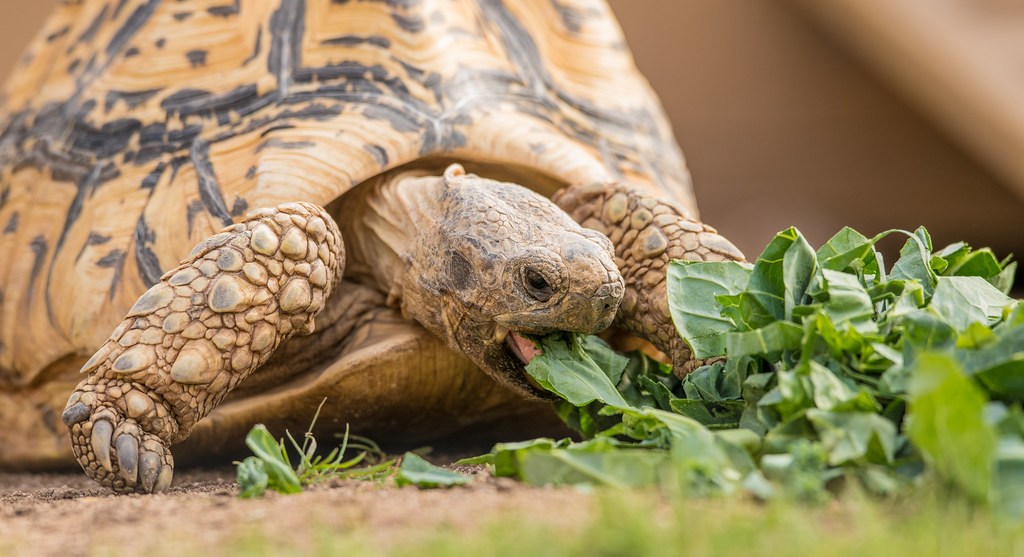 Tortoise_1