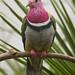 Ptilinopus porphyreus - Pink-headed Fruit Dove