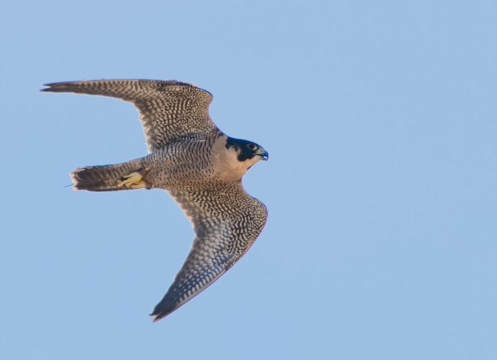 Falcon_14