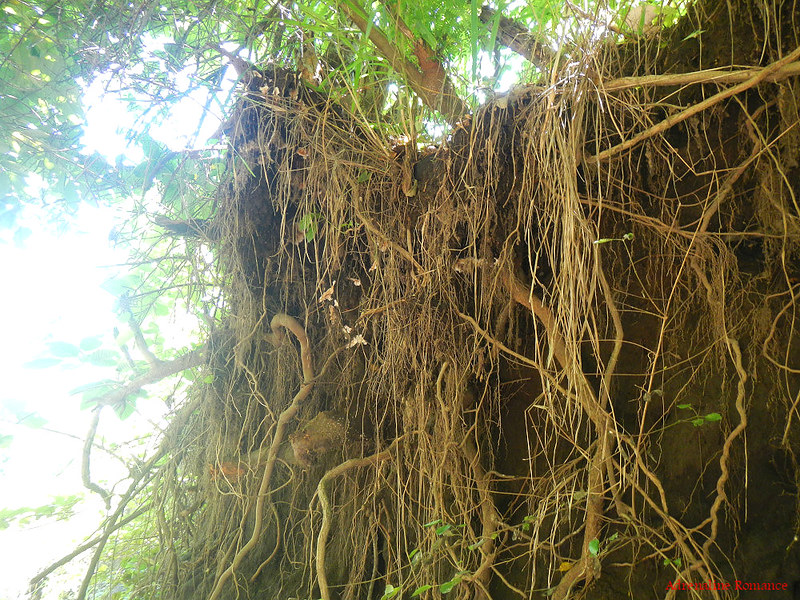 Lots of roots and vines