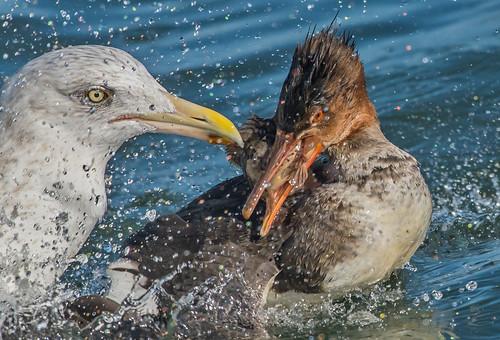 Merganser vs Gull
