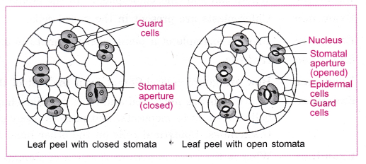 cbse-class-10-science-practical-skills-stomata-4