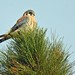 American Kestrel in Pine