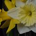 White Daffodil 02