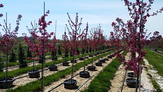 Malus Centurion 15 gal 1.5-1.75 | by Johnson Farms