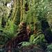Giant Eucalyptus - Cape Otway - Australia by johnfranky_t