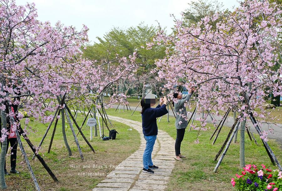 台中后里賞櫻花秘境15
