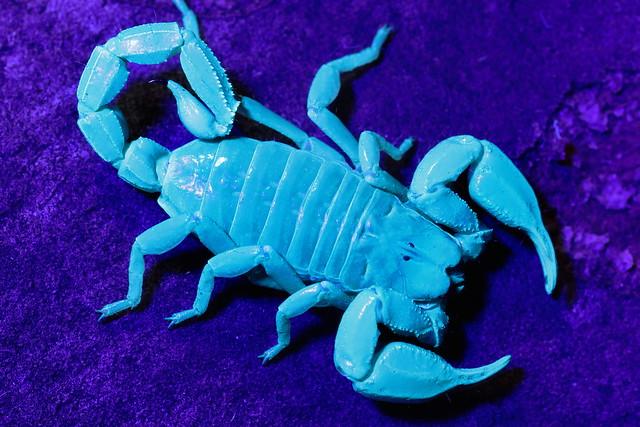 Black Rock Scorpion Urodacus manicatus Under UV light.