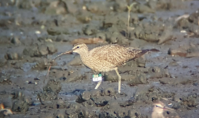 Whimbrels (Numenius phaeopus) with a worm