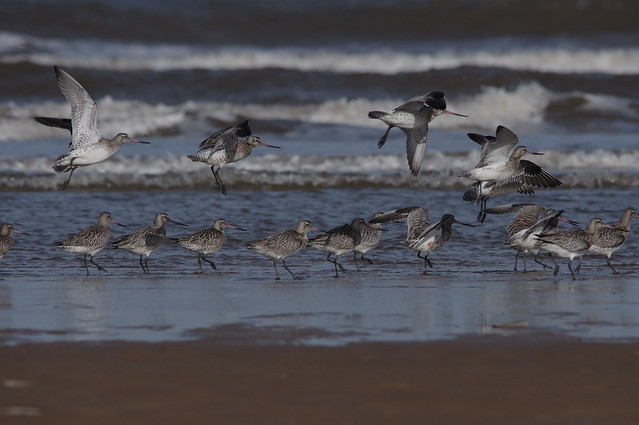 IMGP9955c Bar-tailed Godwits, Titchwell Beach, February 2018