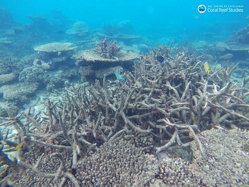 Dead staghorn coral Nov 2016