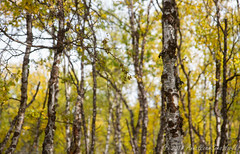 Birch trees with autumn color