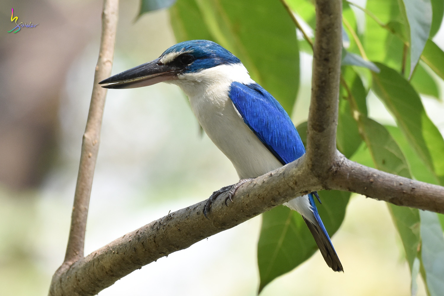 Collared_Kingfisher_8276