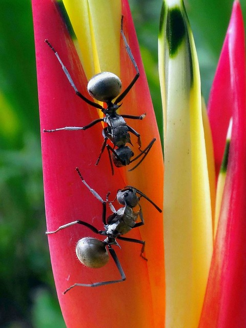 Agreeing. Polyrhachis armata, Many-barbed Armed Ant, on Parrot's Beak Heliconia, Heliconia psittacorum, Islamic Arts Museum Grounds, Kuala Lumpur, Malaysia
